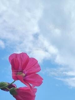 青空と赤いタチアオイの写真の写真・画像素材[4626523]