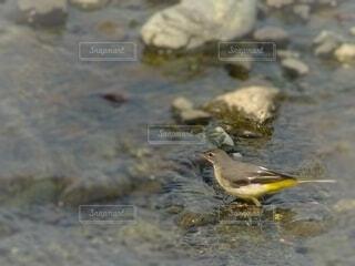川で羽づくろいのキセキレイの写真・画像素材[4653057]