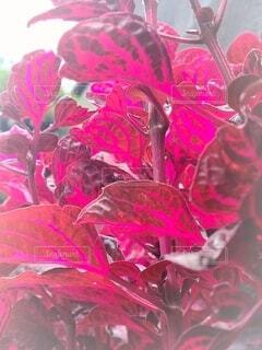 赤い葉のクローズアップの写真・画像素材[4659602]
