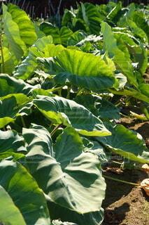 里芋の葉の写真の写真・画像素材[4669835]