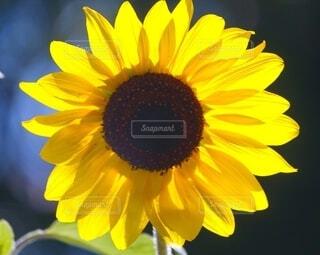 ヒマワリの花弁が黄色く輝く写真の写真・画像素材[4709815]