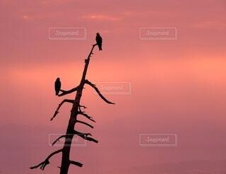 トンビと夕焼けの写真・画像素材[4851072]
