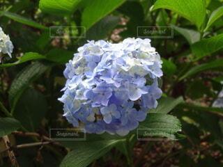 庭の紫陽花の写真・画像素材[4590074]