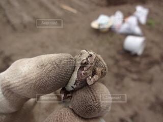 畑で捕まえたカエルの写真・画像素材[4625753]