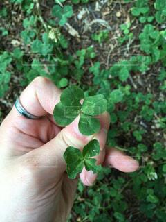 幸せの四つ葉のクローバー見つけたの写真・画像素材[4587612]