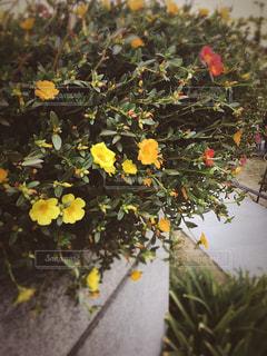 庭の黄色の花の写真・画像素材[774642]