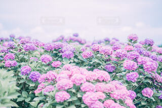 ピンクと紫の紫陽花たちの写真・画像素材[4609949]