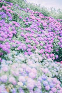 満開の紫陽花の写真・画像素材[4609983]