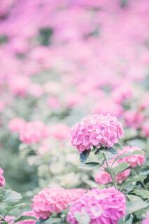 ピンクの紫陽花のクローズアップの写真・画像素材[4609995]