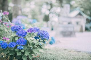 神社の片隅咲く紫陽花の写真・画像素材[4610010]