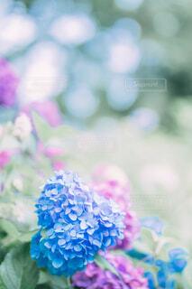 パステルカラーの紫陽花の写真・画像素材[4610040]