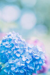 パステル調のの紫陽花の写真・画像素材[4610041]