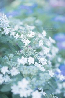 紫陽花のアップの写真・画像素材[4610058]
