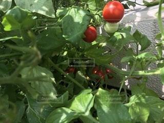 青々と生い茂った枝にぶら下がるミニトマトの写真・画像素材[4657784]