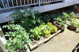 庭の家庭菜園の写真・画像素材[4657799]