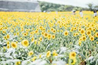 一面満開のひまわり畑の写真・画像素材[4677111]