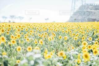 満開のひまわり畑の写真・画像素材[4677110]