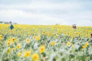 一面咲くひまわり畑の写真・画像素材[4677109]