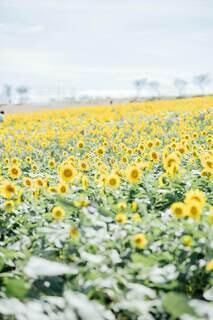満開のひまわり畑の写真・画像素材[4677113]