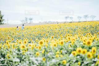 ひまわり畑の中を散歩の写真・画像素材[4677114]