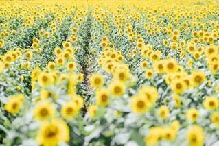 ひまわり畑の絶景の写真・画像素材[4677115]