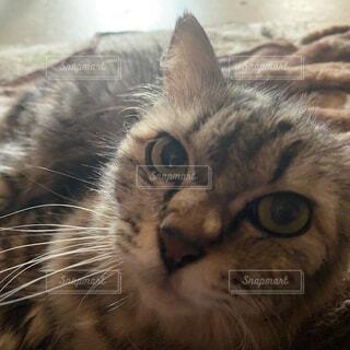猫,かわいい,ネコ科
