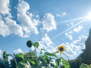 青空に咲くひまわりの写真・画像素材[4678858]
