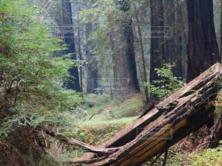 自然,風景,森林,木,屋外,アメリカ,草,樹木,大地,ジブリ,ジャングル,カリフォルニア,原生林,州立公園,ウッドランド
