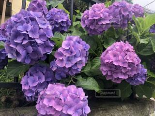 紫色の紫陽花をクローズアップの写真・画像素材[4617900]