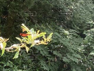 自然,風景,花,森林,木,屋外,山,景色,樹木,新緑,虫,トンボ,珍しい,草木,ガーデン,カエデ,維管束植物,珍しいトンボ