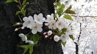 花,桜,草木,ブルーム,フローラ
