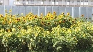 花,ひまわり,植木鉢,観葉植物,草木,ガーデン