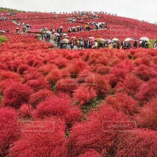 雨の日、見頃のコキアの紅葉を見に来た、傘をさす人々の列。の写真・画像素材[4649689]