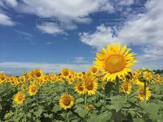 勢いのある雲と、夏空の下のたくさんの向日葵。の写真・画像素材[4659697]