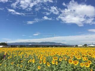 広大なひまわり畑の向こう側に走る新幹線の写真・画像素材[4663107]