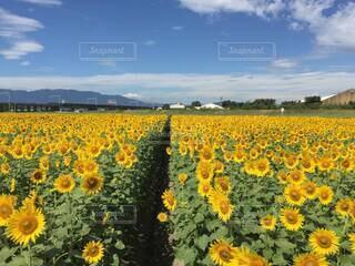 どこまでも続く向日葵畑の中の小径の写真・画像素材[4664376]