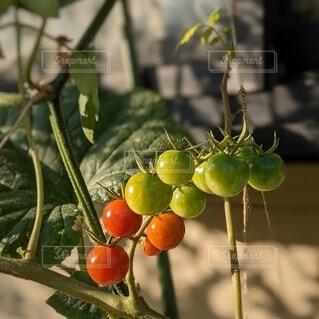 家庭菜園。緑から赤へ…だんだん熟していくプチトマト。の写真・画像素材[4669719]