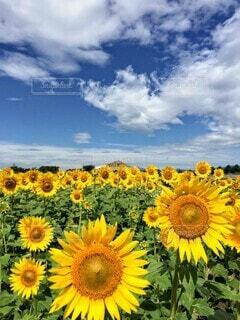 青い空、白い雲、黄色と緑が鮮やかなたくさんの向日葵たち。の写真・画像素材[4690700]