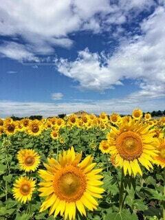 青空の下、元気いっぱい!思いっきり咲く向日葵たち。の写真・画像素材[4690722]