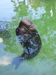 水の中で目を閉じたままグルグル回るハワイアンモンクシール。の写真・画像素材[4695304]