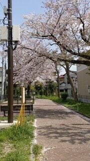 風景,空,春,桜,木,ピンク,きれい,晴れ,ベンチ,桜並木,花びら,木漏れ日,樹木,お花見,道,木陰,住宅街,お散歩,樹,長閑,草木,のどか,3月,閑静,陽だまり,こもれび,4月