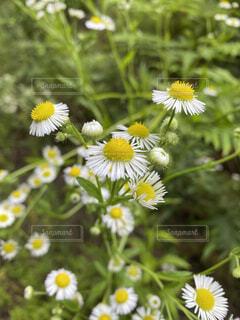 花,夏,白,綺麗,散歩,黄色,可愛い,梅雨,のどか