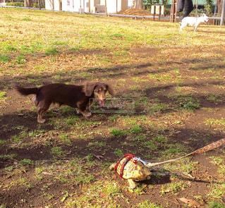 草の中に立っている犬 - No.749634
