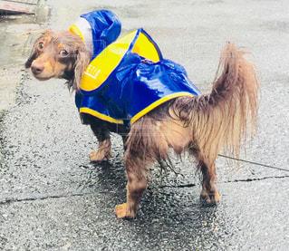 犬,雨,屋外,梅雨,愛犬,レインコート,犬の散歩,カッパ,大雨,イヌ,びしょ濡れ,犬と一緒