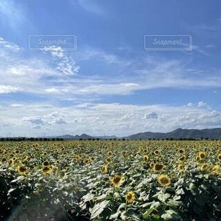 自然,風景,花,屋外,ひまわり,夏休み,ひまわり畑,夏の思い出