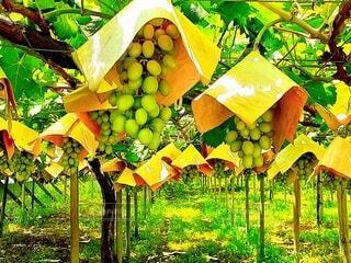 袋かけされた葡萄の写真・画像素材[4624147]