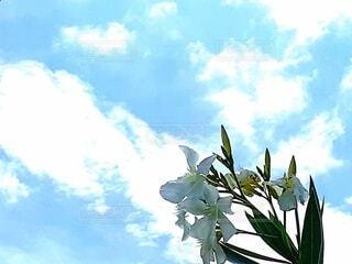 夏の青空に映える白い花の写真・画像素材[4646487]