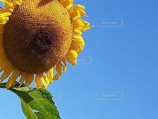 晴れた日の向日葵の写真・画像素材[4647787]