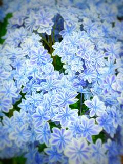 花,屋内,青,紫陽花,草木,アジサイ