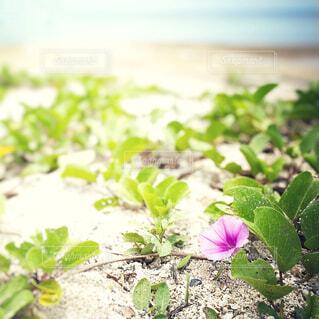 花,屋外,砂浜,一輪,海岸,草木
